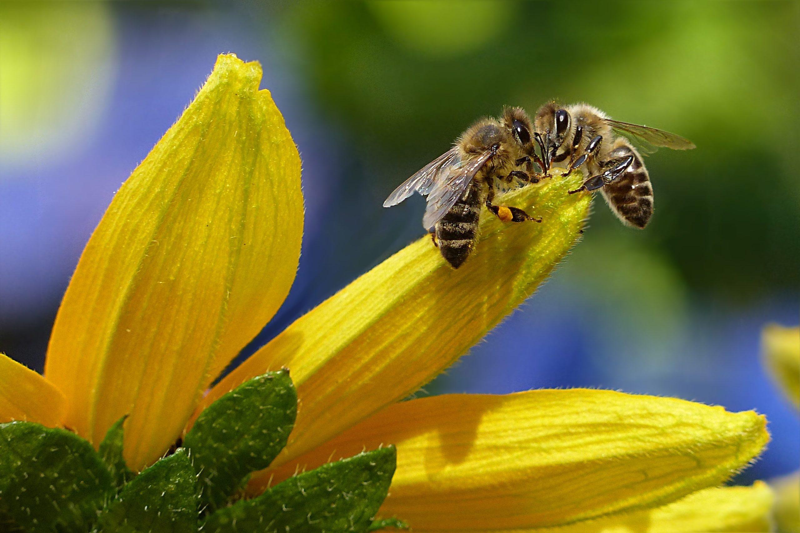 Dunkle Biene mit Pollen Stadtimkerei Giengen